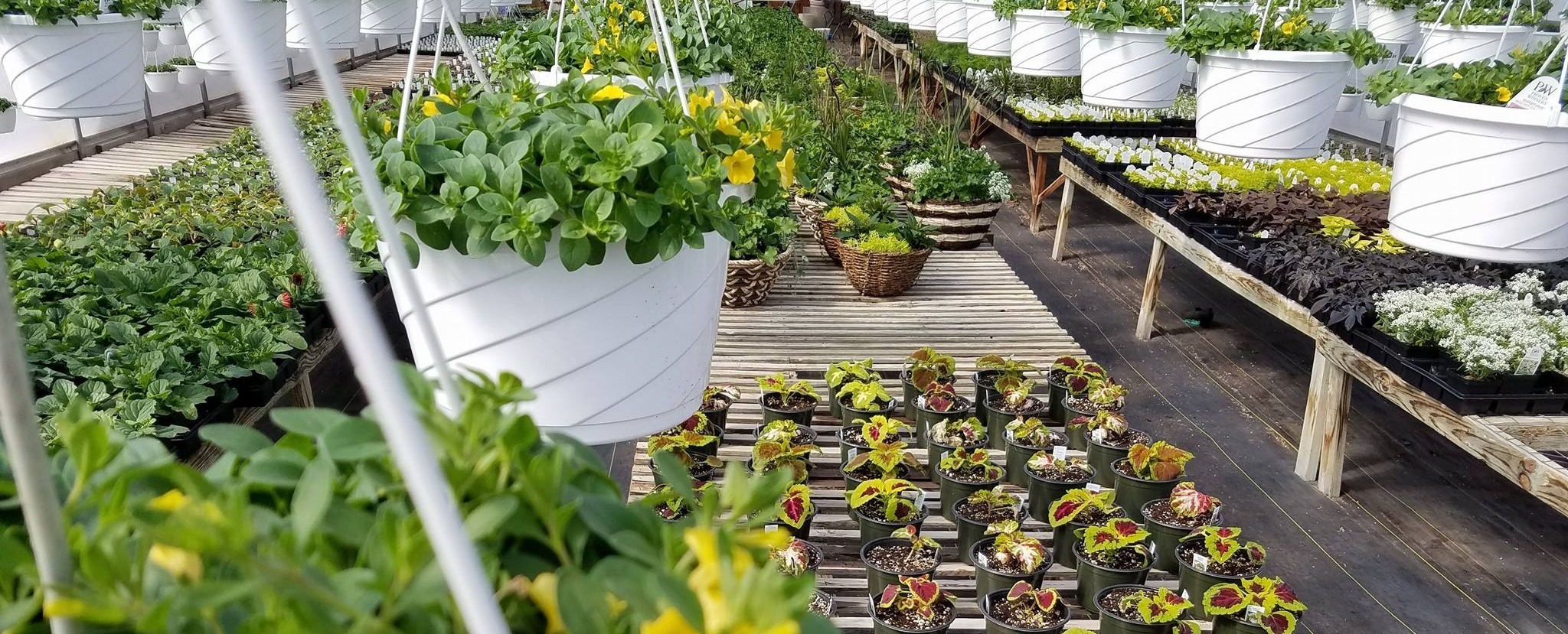 Hanging flower baskets and coleus seedlings in a greenhouse